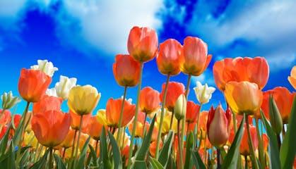 StockImages-Spring-tulips-3251607_1920.jpg