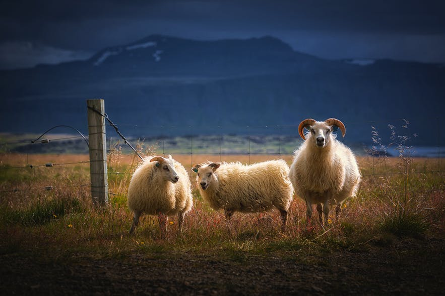 Three Icelandic sheep stand next to a fence with a mountain range in the background - landscape Photography | Everything You Need To Know