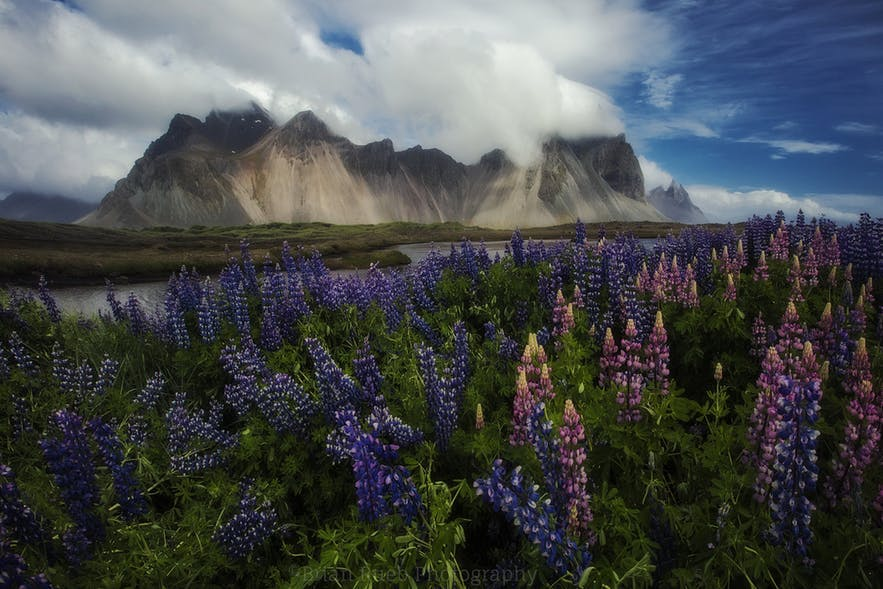 Pink and purple lupines sit in the foreground of a landscape scene where a mountainous range lies in the background - landscape Photography | Everything You Need To Know