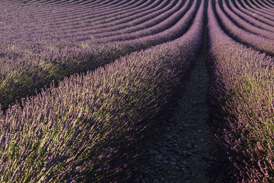 Lavender fills the frame as a leading line draws the viewer's eyes to the top of the scene - landscape Photography | Everything You Need To Know