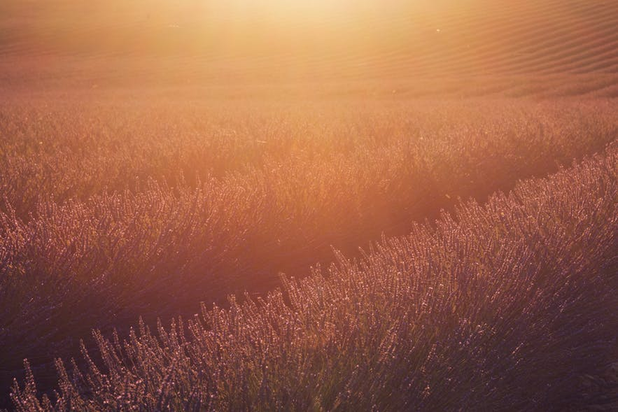 Lavender fields during sunrise adds a warmer tone of colour - landscape Photography | Everything You Need To Know
