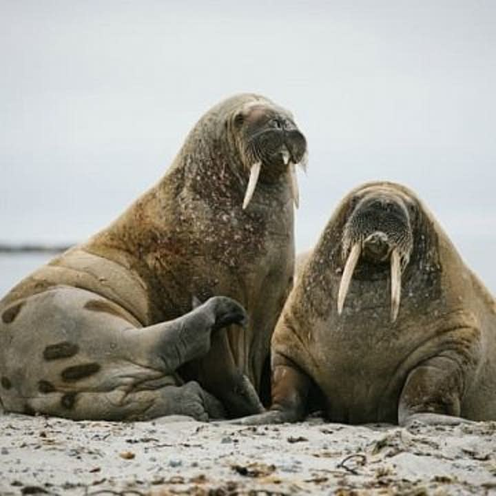 Svalbard Arctic Wildlife Photography Expedition