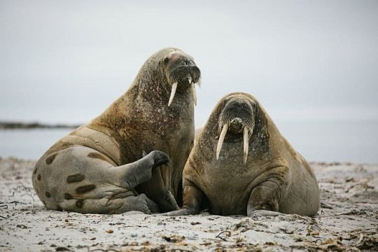 Svalbard Arctic Wildlife Photography Expedition - day 10