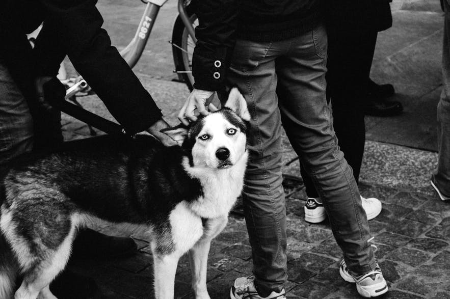 A husky being petted by two people.