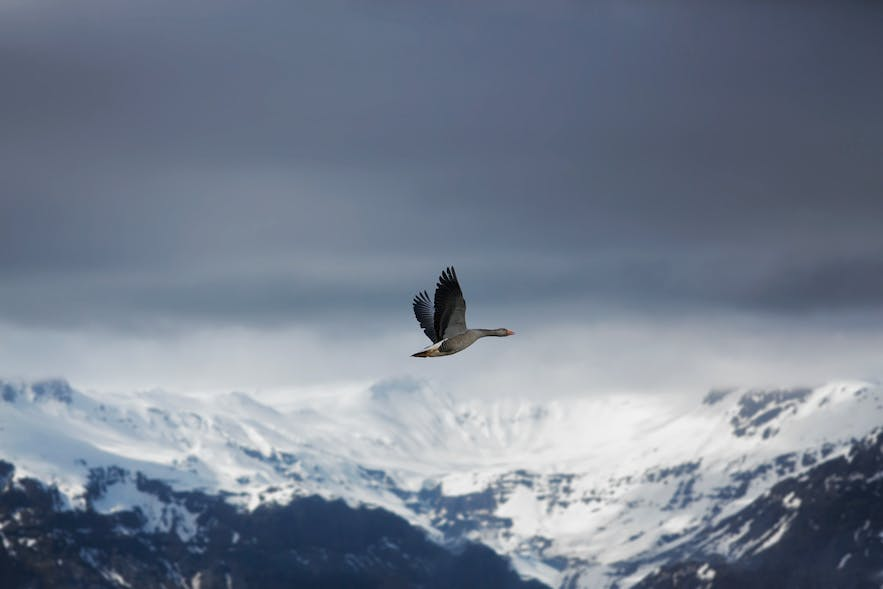 A bird flying in front of mountains.